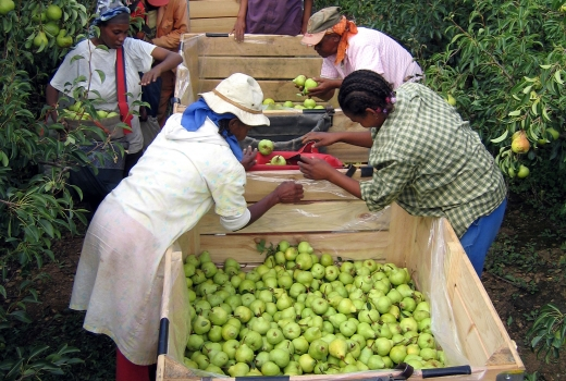 Farm labourers harvest pears in Western Cape Province, South Africa.