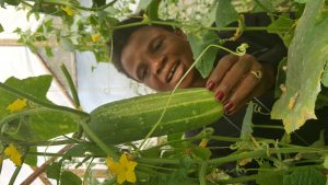 Woman checking cucumber prior to harvest